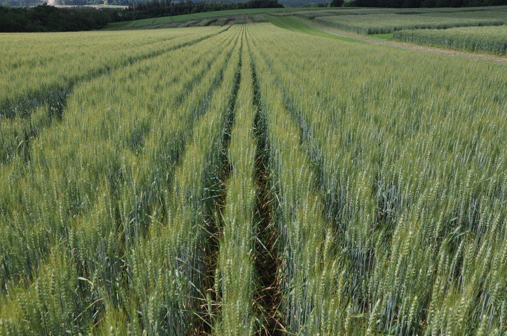 Menej adaptované odrody pšenice sú čiastočne zodpovedné za nižšiu úrodu vekologickom systéme vporovnaní skonvenčným pestovaním.